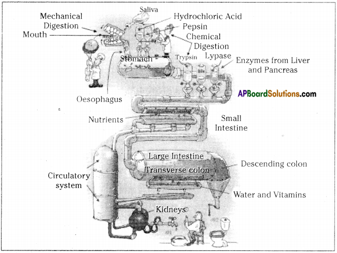 AP SSC 10th Class Biology Solutions Chapter 1 Nutrition – Food Supplying System 19