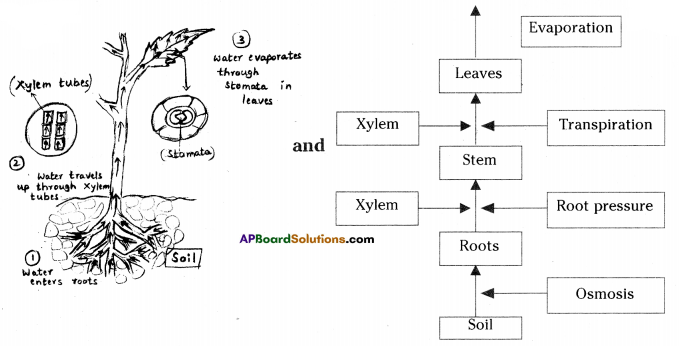 AP SSC 10th Class Biology Solutions Chapter 3 Transportation – The Circulatory System 8