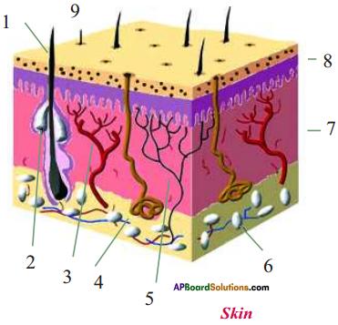 AP Board 9th Class Biology Important Questions Chapter 6 Sense Organs 4