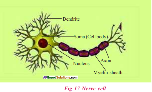 AP Board 9th Class Biology Solutions Chapter 3 Animal Tissues 12