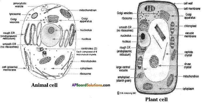 AP Board 8th Class Biology Solutions Chapter 2 Cell The Basic Unit of Life 4