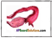AP Board 8th Class Biology Solutions Chapter 4 Reproduction in Animals 5