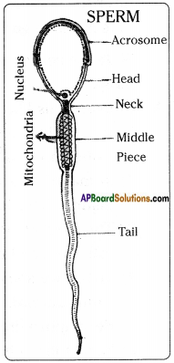 AP Board 8th Class Biology Solutions Chapter 4 Reproduction in Animals 6