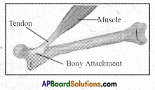 AP Board 6th Class Science Important Questions Chapter 12 Movement and Locomotion 3