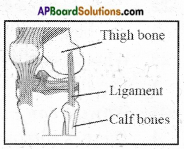 AP Board 6th Class Science Important Questions Chapter 12 Movement and Locomotion 4
